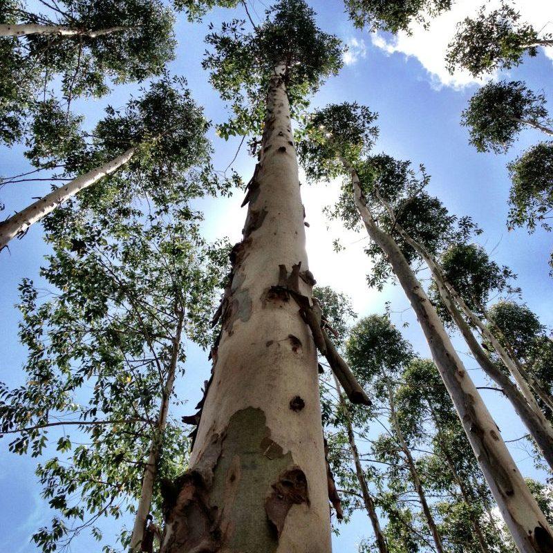 Eucalyptus trees looking toward the sky