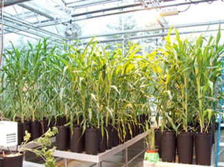 Containerized plants growing in greenhouse